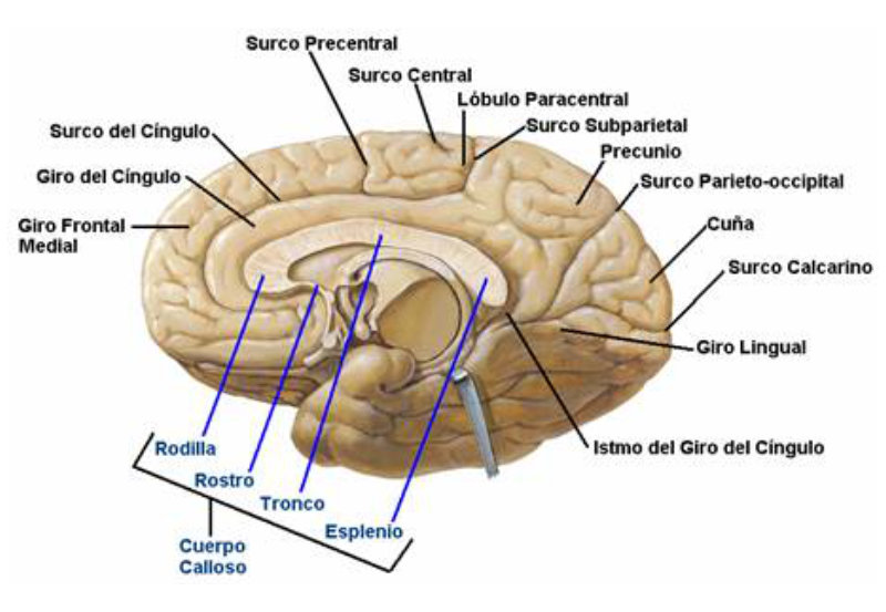 Cuerpo Calloso Neurocirugia Contemporanea